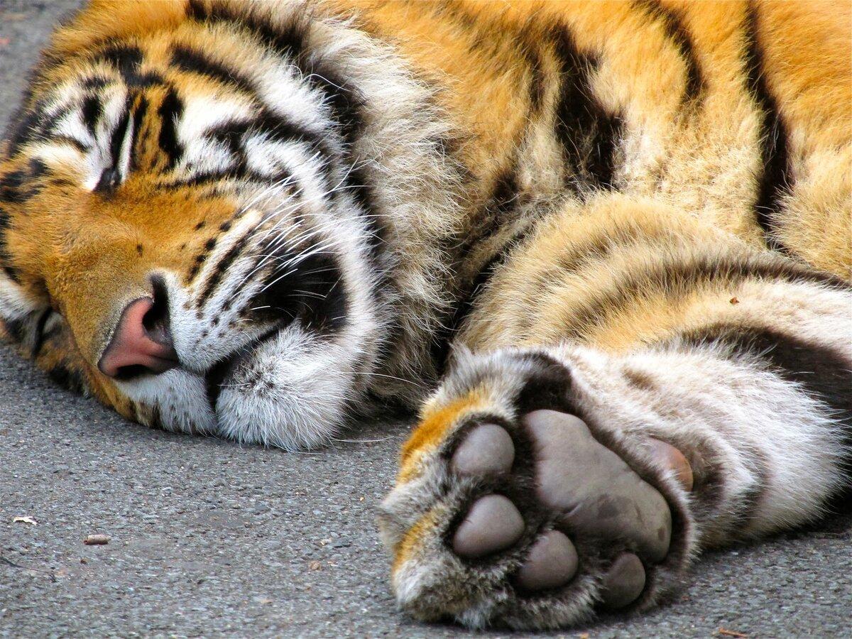 Тигриная лапа картинка