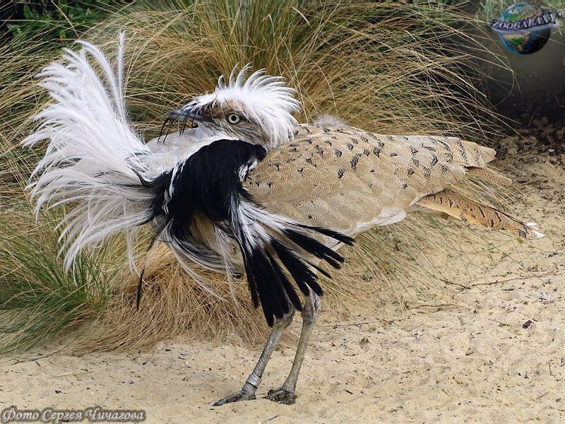 смотреть фото птицы джек измельчить любым способом
