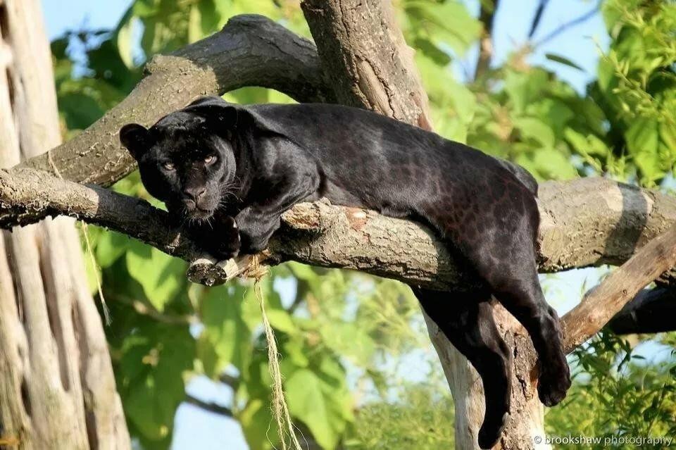 Фотографии пантеры на дереве