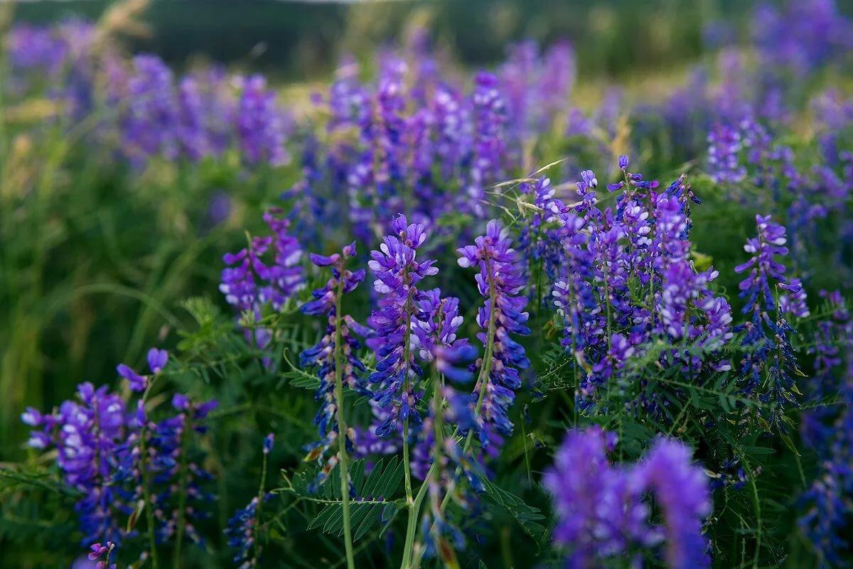 ядовитые полевые растения фото и названия ней