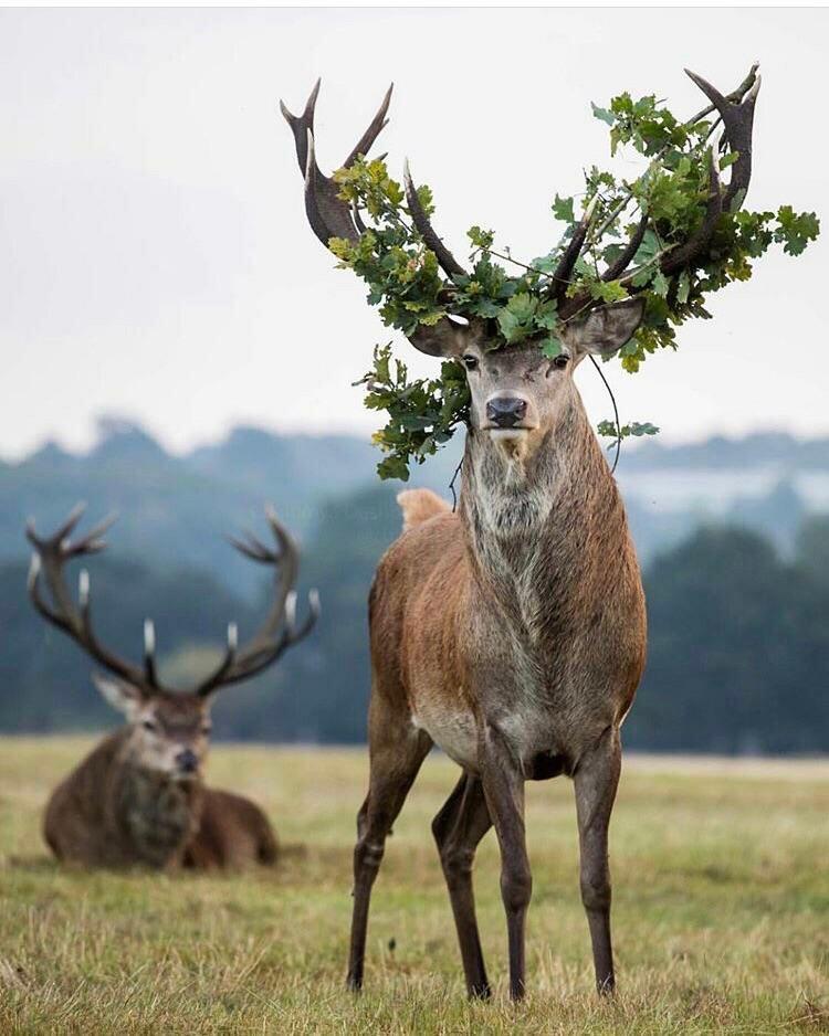 Рождеством христовым, смешные картинки и фото оленей