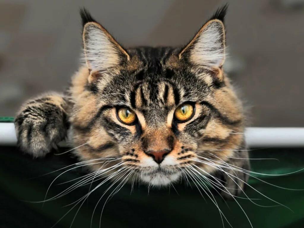 Картинки кота породы мэйкун