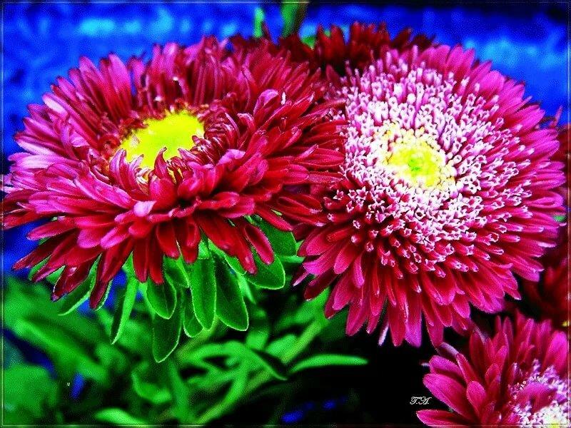картинка гиф хризантемы реболами