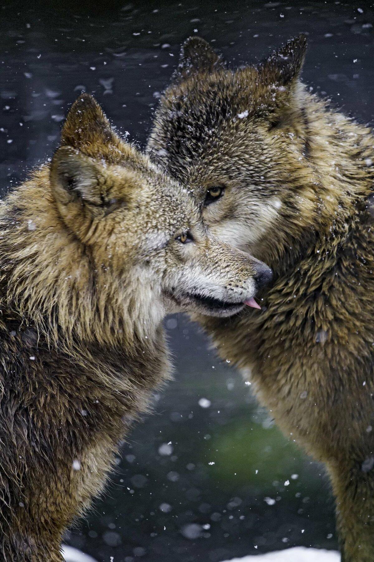 Красивые картинки волков в паре