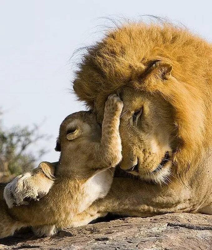 картинка люблю львенка категория девушек