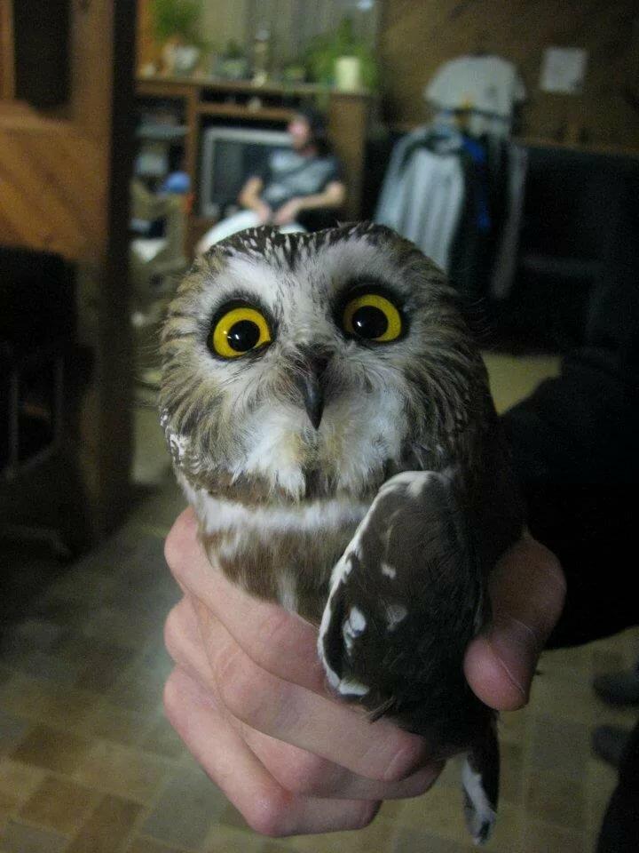 Домашняя сова картинки