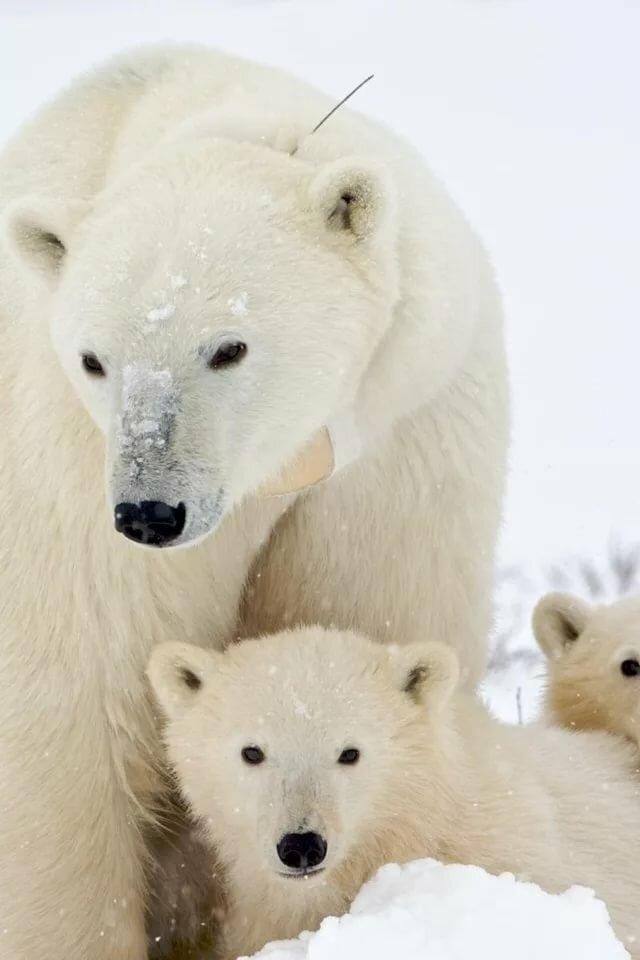нежный картинки для телефона белый медведь растяжку часто игнорируют