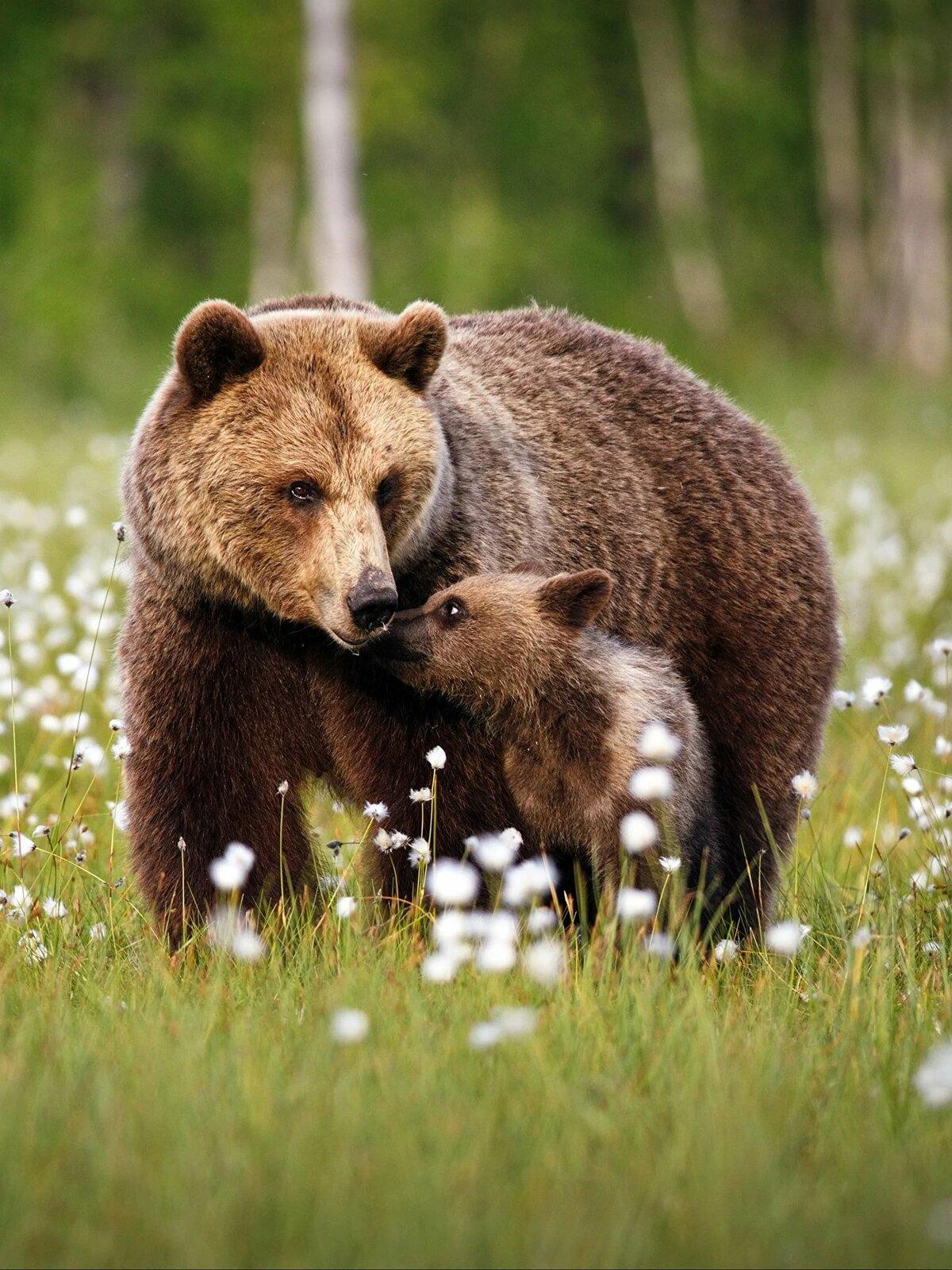 картинки медведицы с двумя медвежатами приготовления
