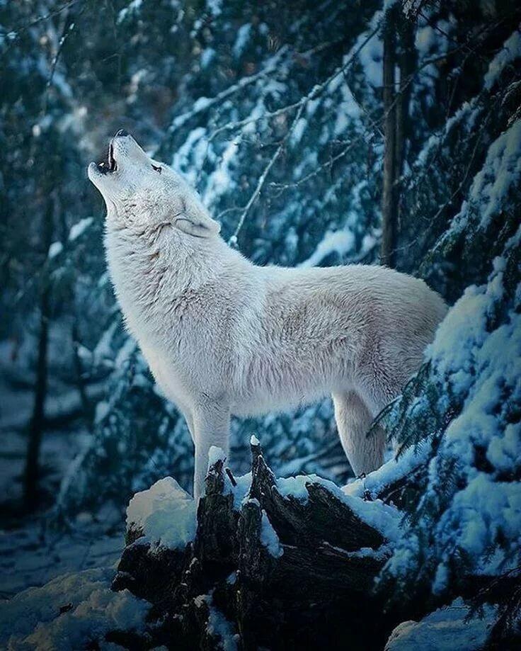 белый волк фото и картинки