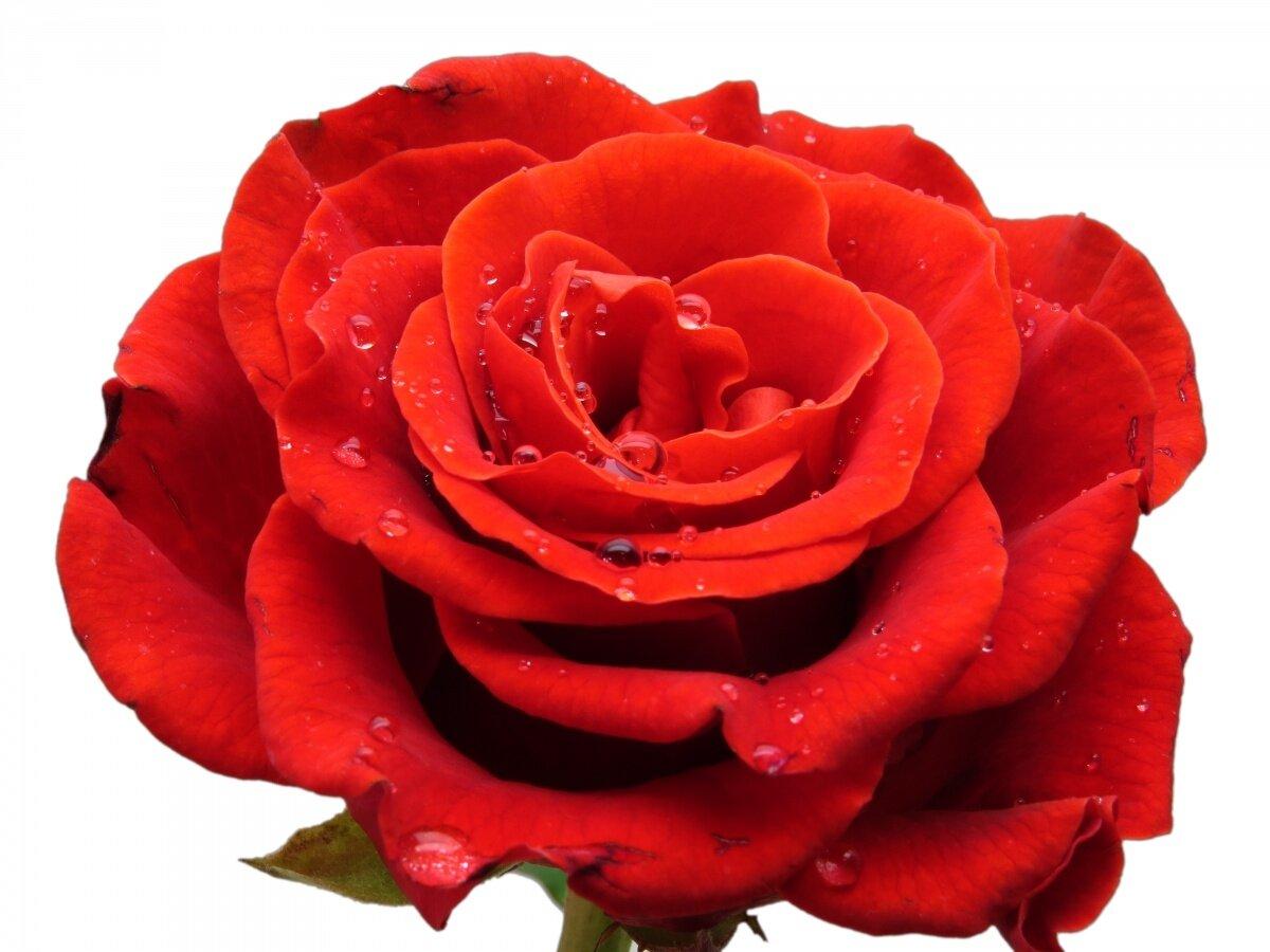 Красная роза картинка на белом фоне