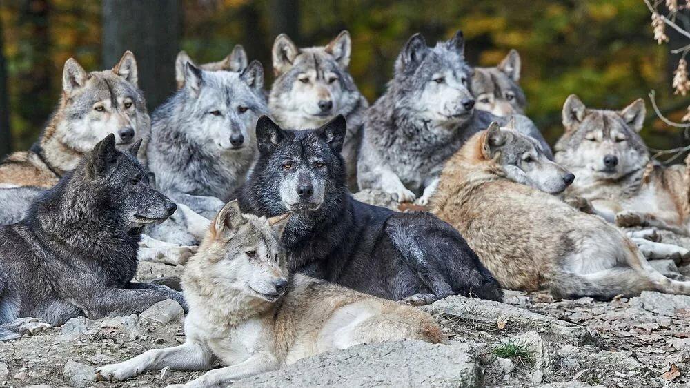 картинки стай волков для рабочего стола плакат для