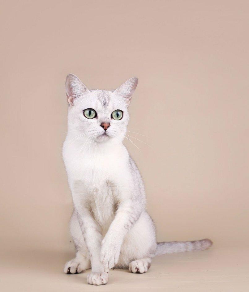 порода кошек бурмилла короткошерстная картинки работать