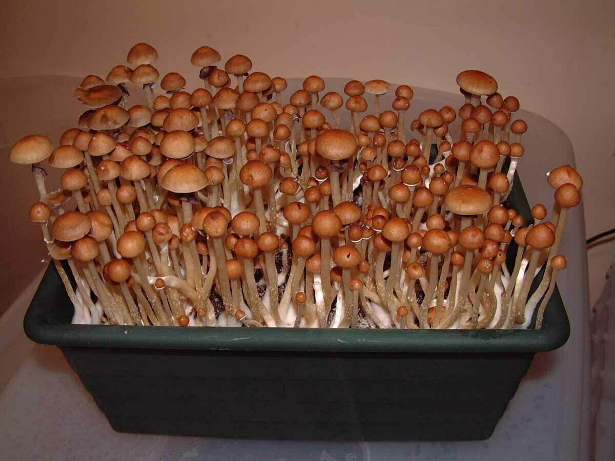 Домашняя грибница: реально ли вырастить грибы дома?