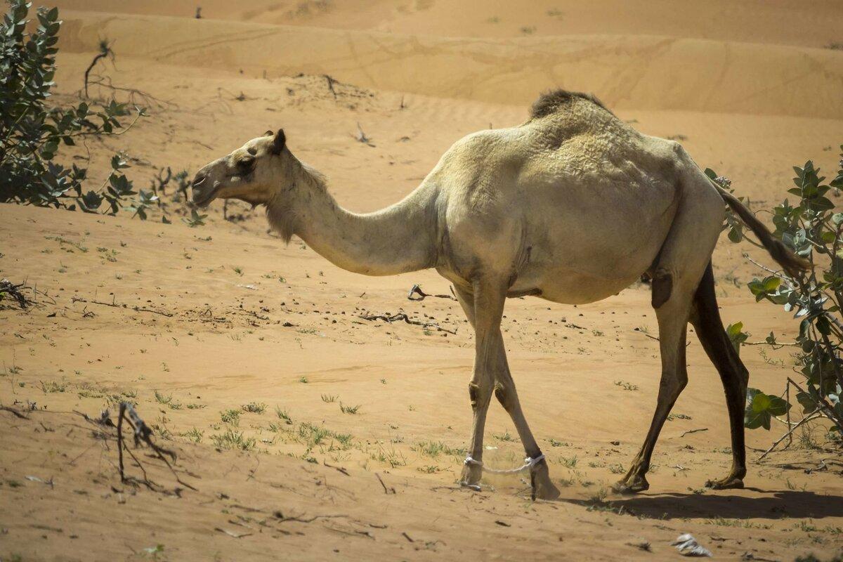 животные верблюд картинки этого вышло есть