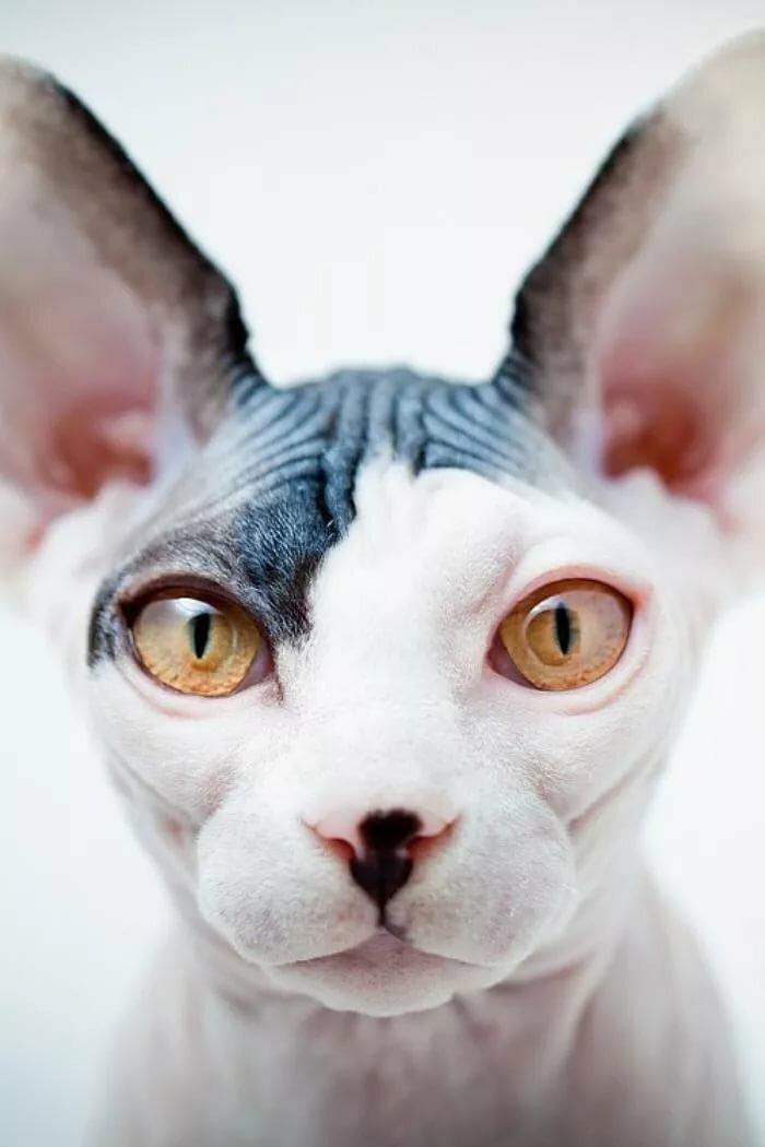 Одиночестве, прикольная картинка кота сфинкса