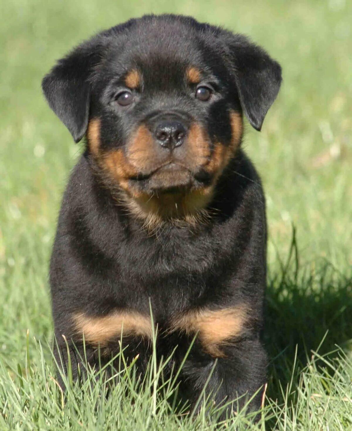 rottweiler dog images - HD1024×1254