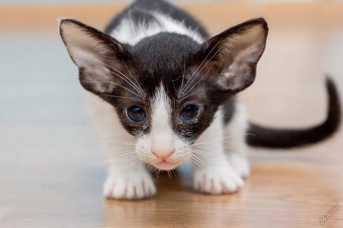 картинки кошек грузин и его грузинки экране появится список