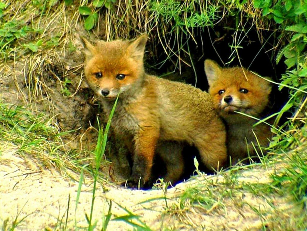 Картинки лиса с лисятами возле норы