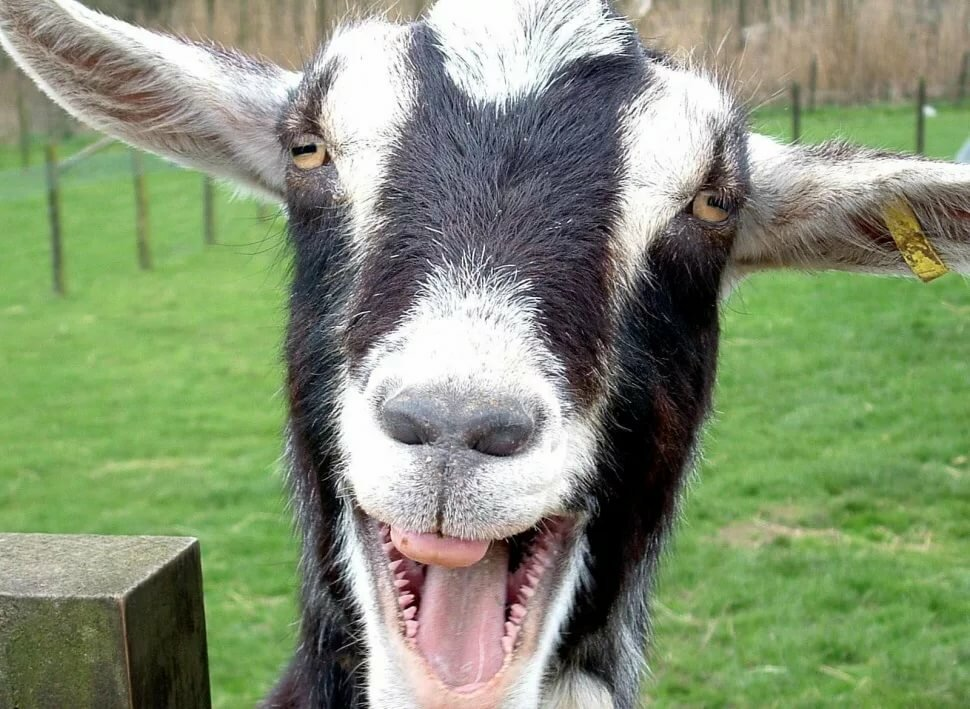Ангелина красавица, прикольные картинка козы