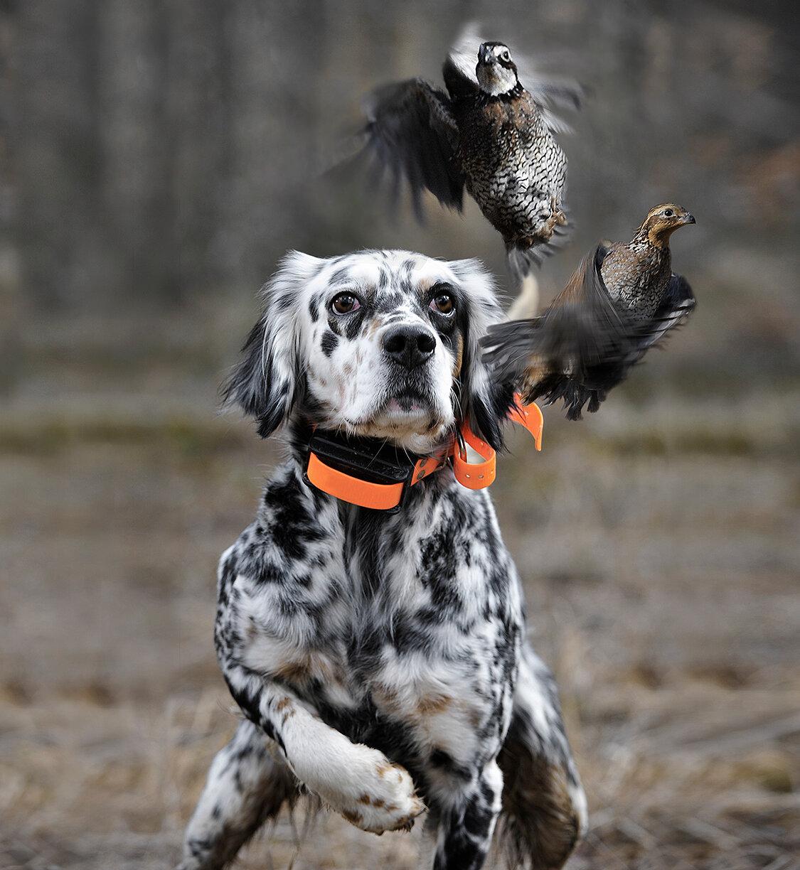 фото охотничьей собаки подвески картин можно