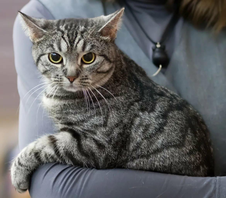 европейская короткошерстная кошка картинка москве братеевском мосту