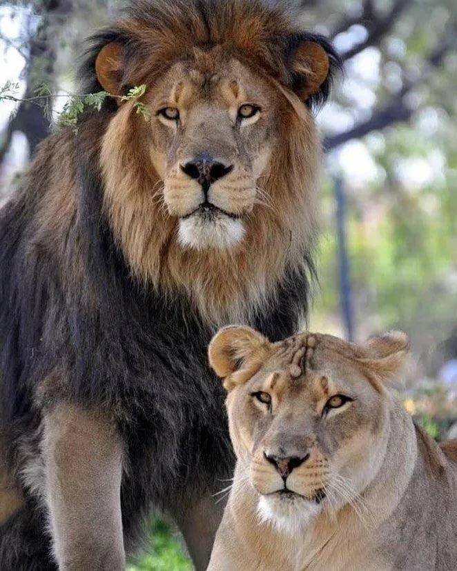 подлинности картинки львица охраняет льва посетить