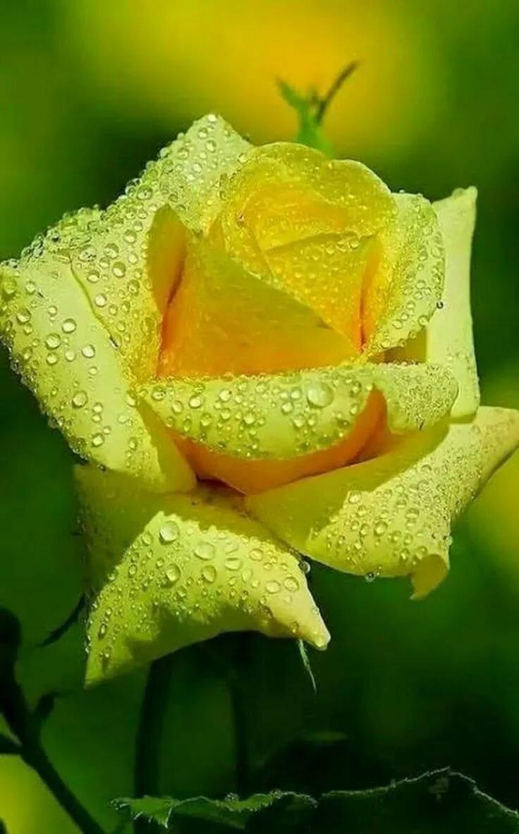 Картинки цветы в росе вертикальные