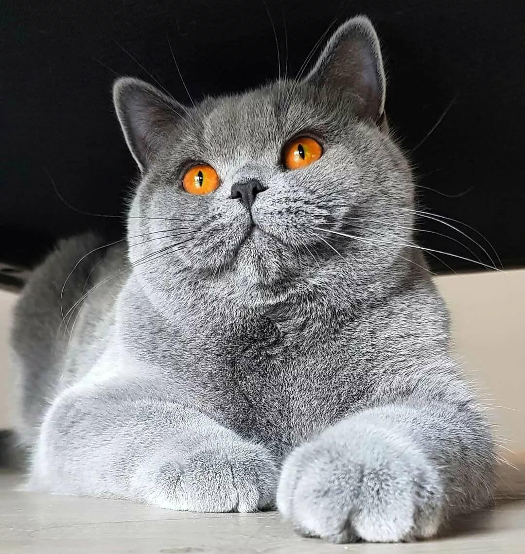 Открытки, смешные коты британцы картинки