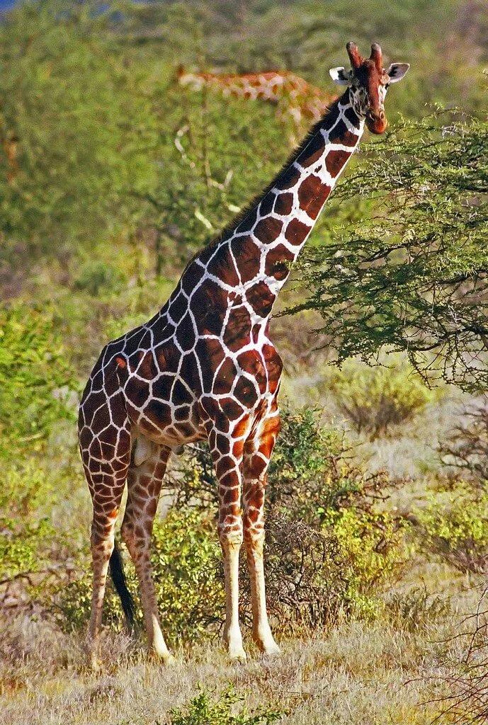 жираф картинка картинка отпраздновать свадебную