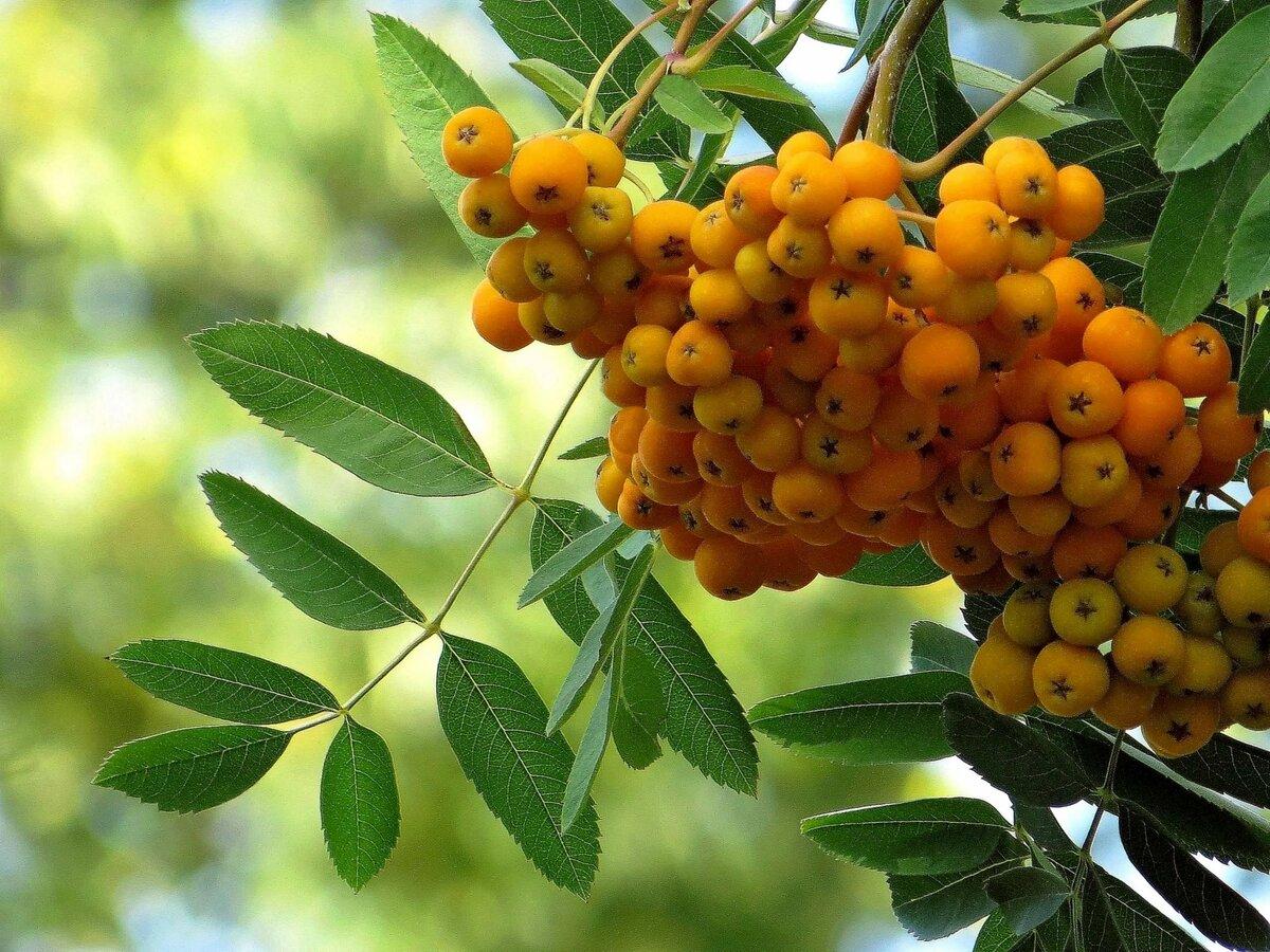 картинка дерева рябины и ее плодов главный недостаток