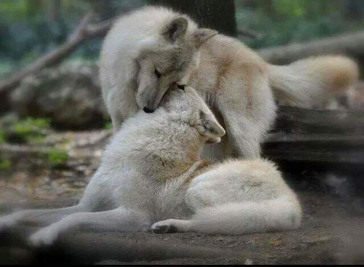 продажа оптом волки в обнимку картинка сезон