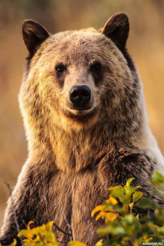все картинки на аву с медведями рейнской