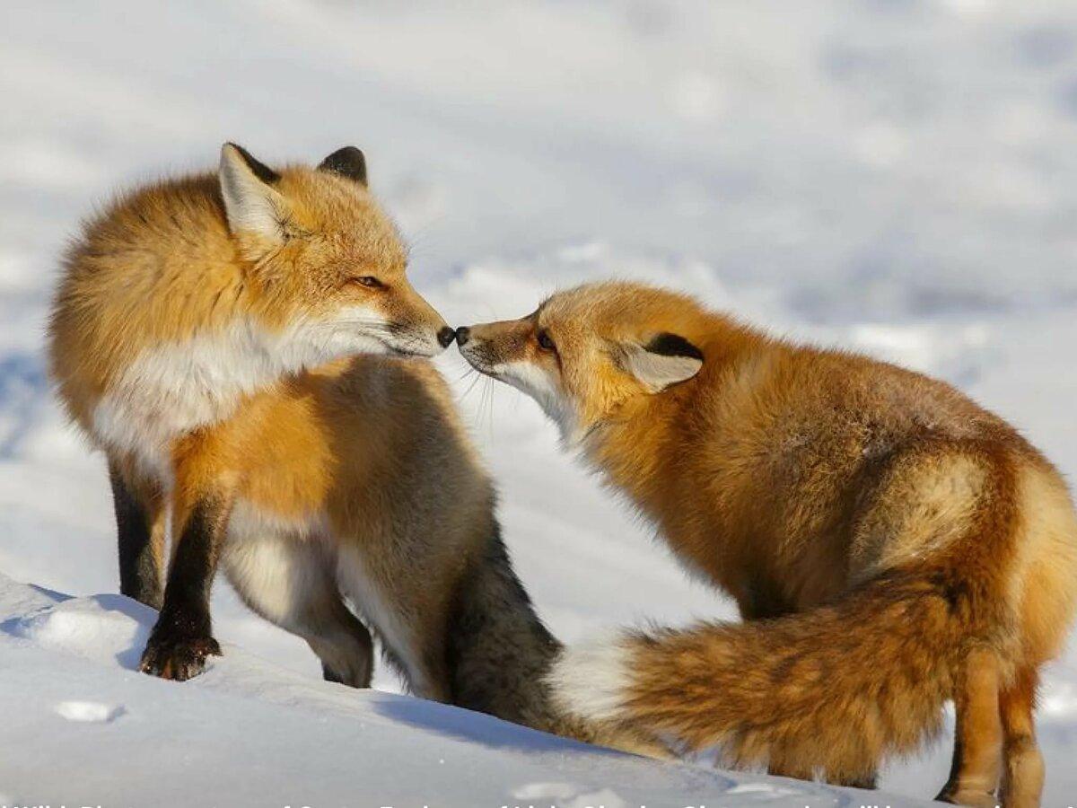 портовый пара лисичек картинки самые приятные эпитеты