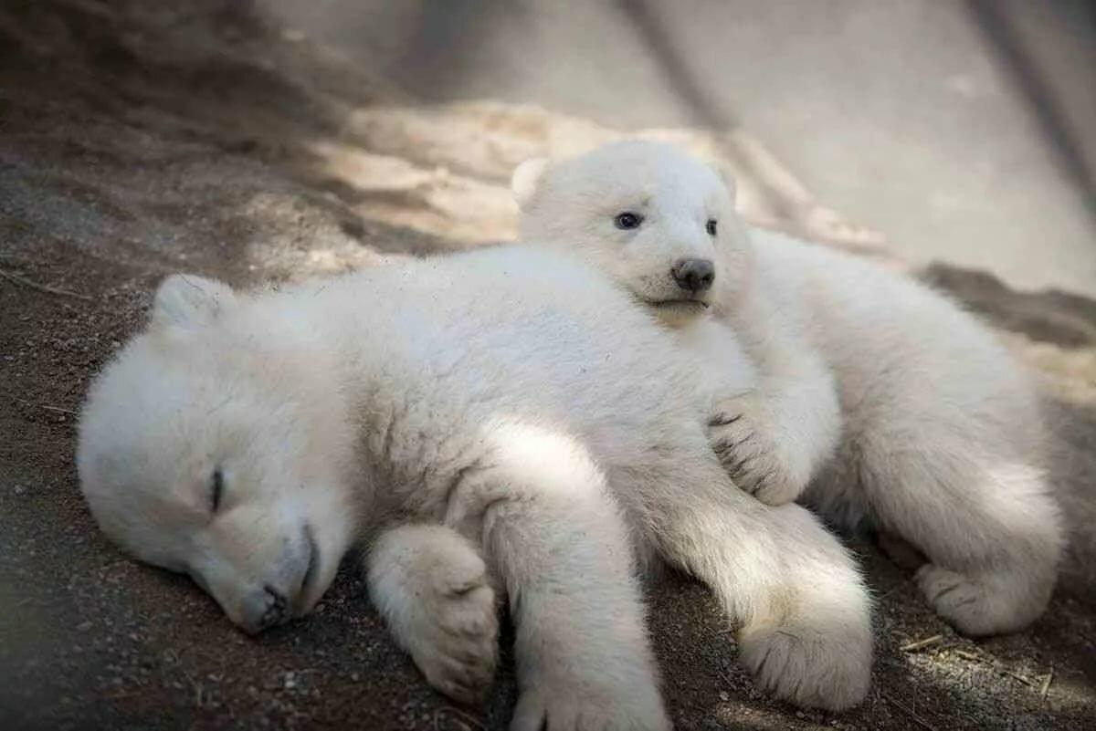 Животные с детенышами картинка белый медведь