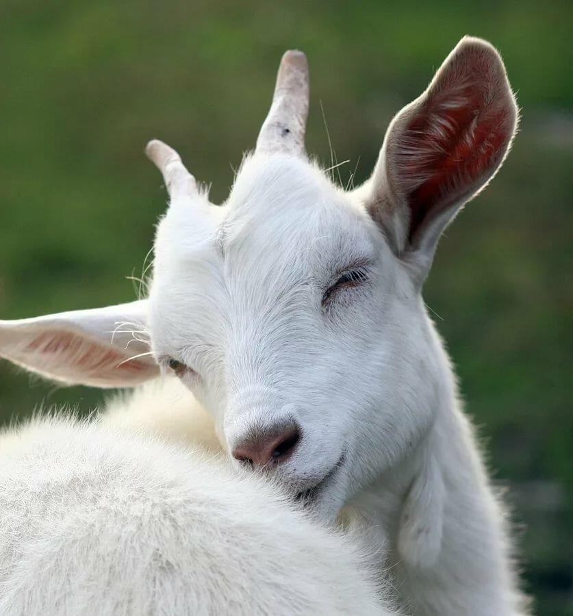 Картинки коза моя