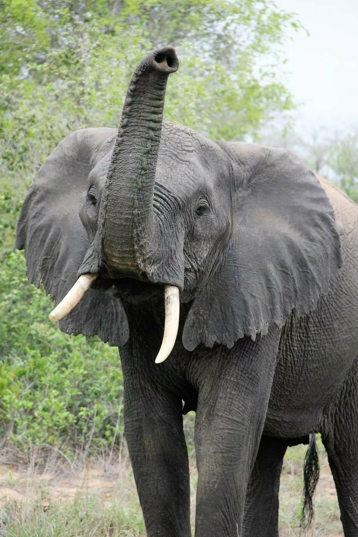 большинстве картинки слон хобот нужно