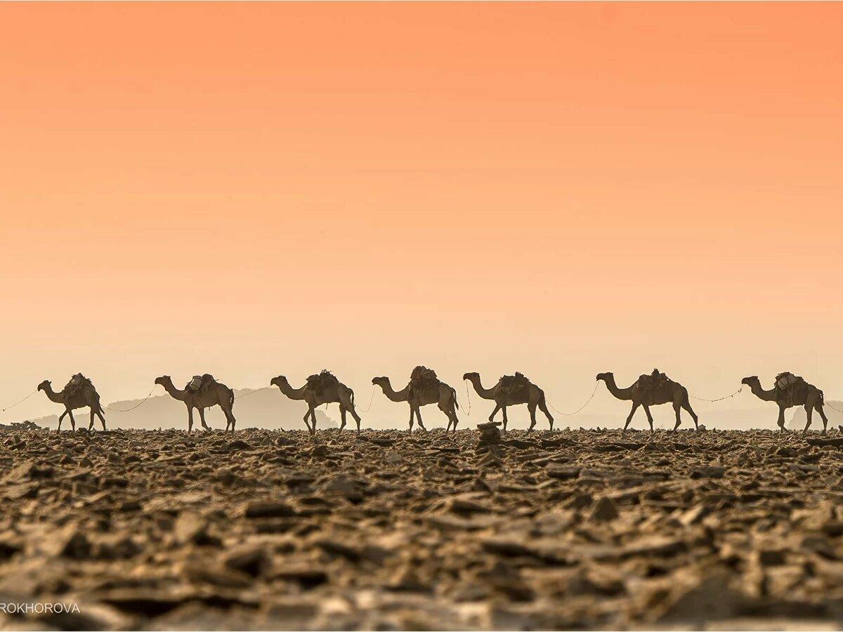Картинки верблюды пустыни