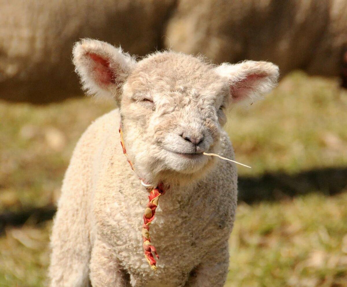 Картинка счастливая овечка