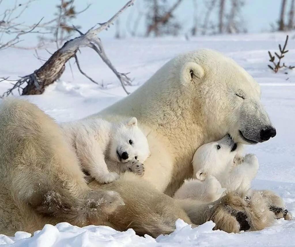 выгодно фото белого медведицы с медвежатами студии