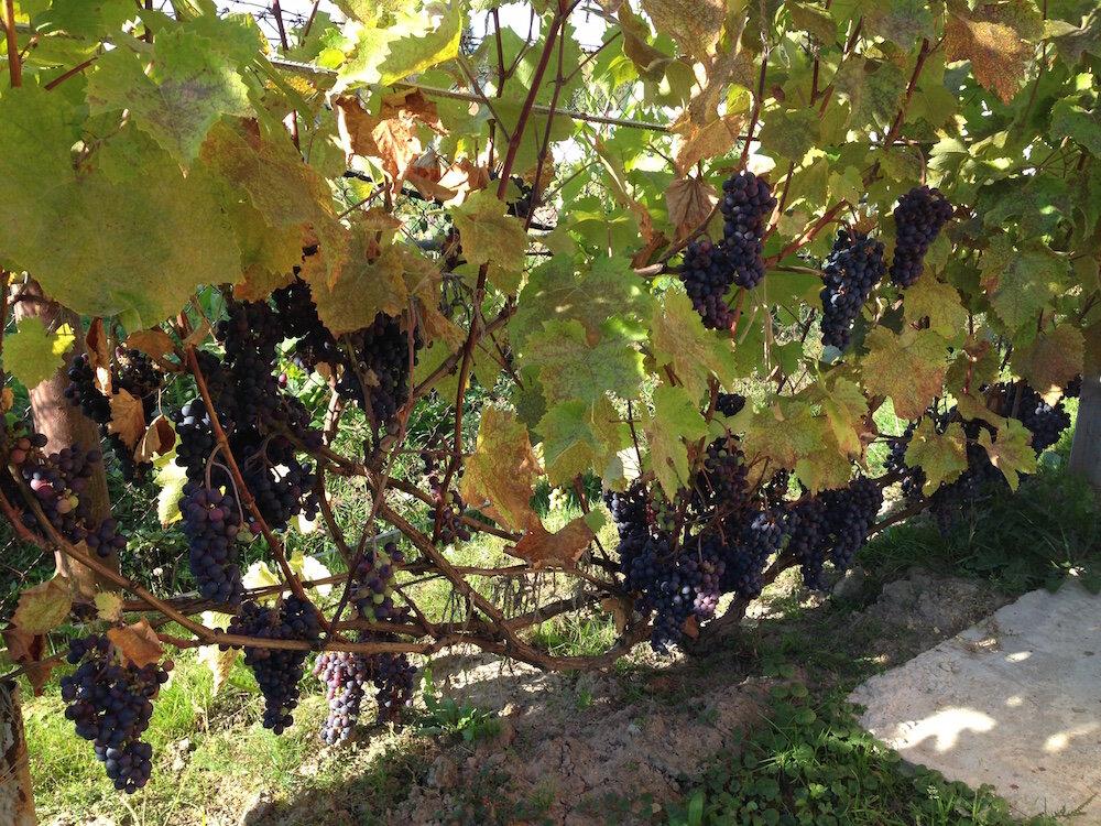блин картинки куст винограда иконки популярных социальных