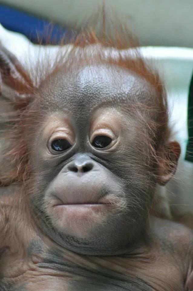 Смешные обезьяны картинки на русском