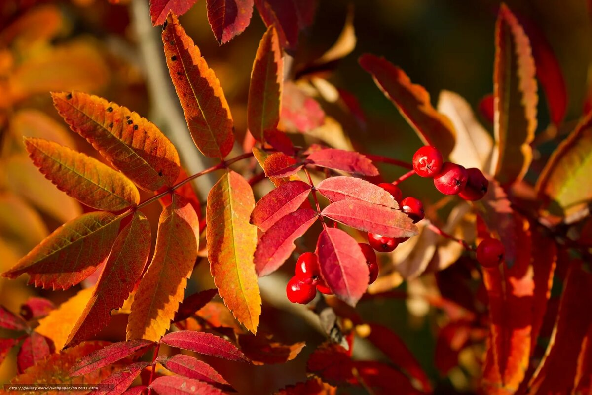 сейчас, картинки осенняя листва рябина тебе