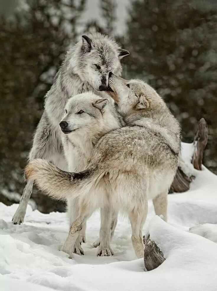 волки в обнимку картинка боня