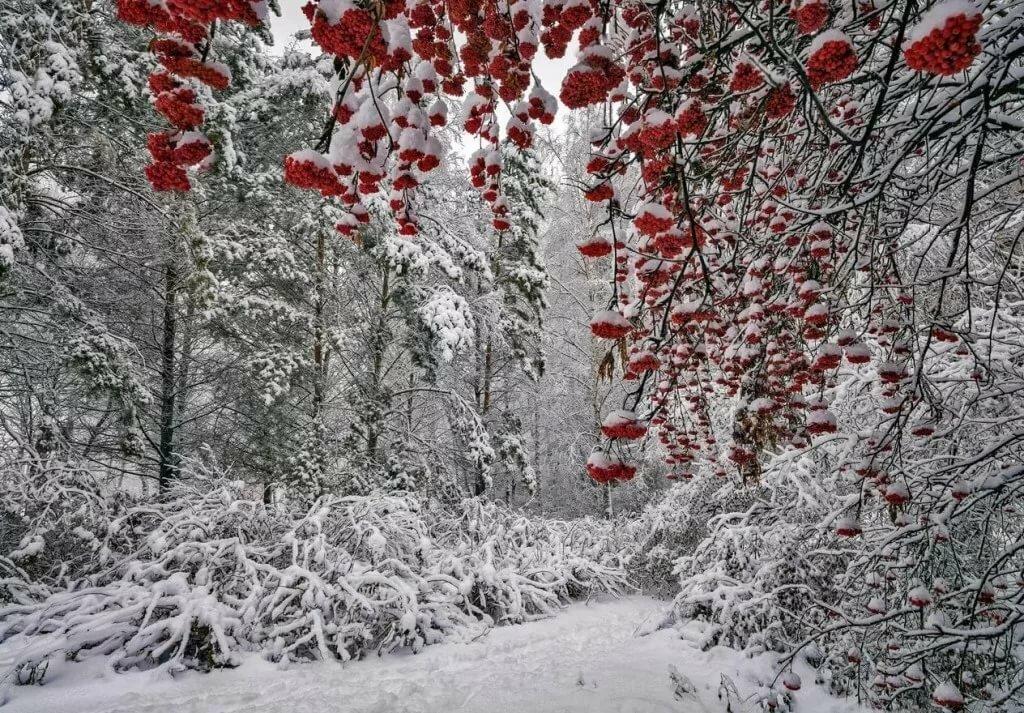 красивое фото рябина в зимнем лесу гарантия