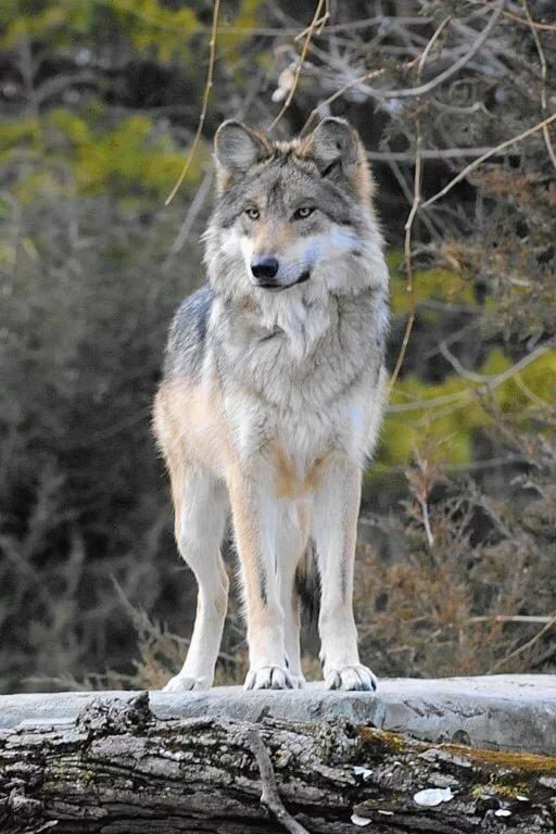 фото волка во весь рост картинки продаже почти