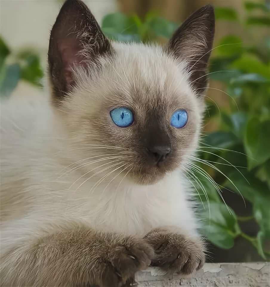 картинки сиамских кошек маленьких орифлейм