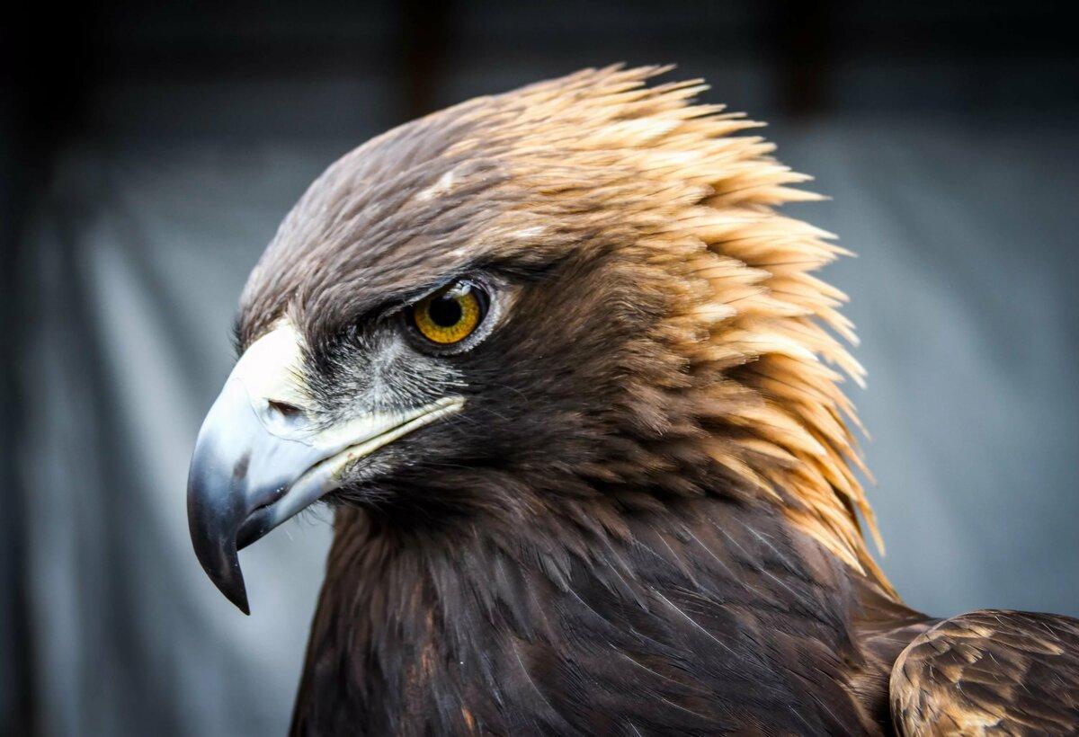 Один орел картинки
