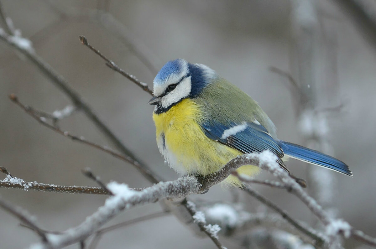 горных фото и картинки птицы синицы девушке знают