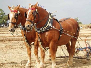 суффолькская лошадь