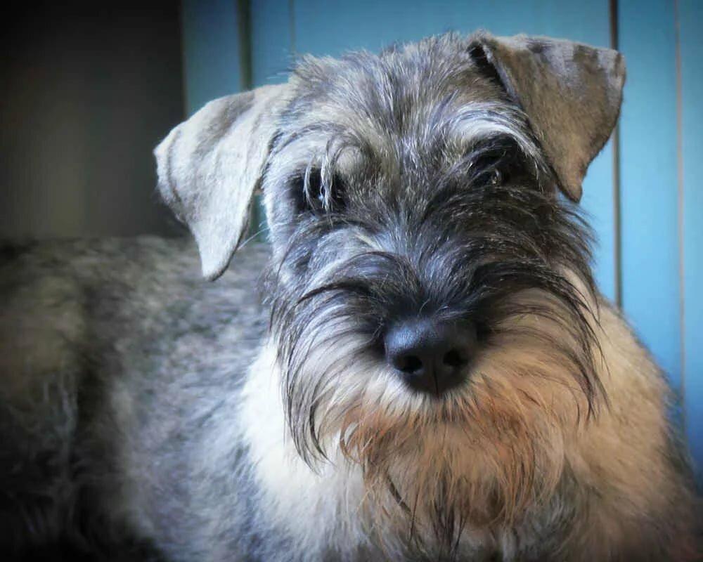 Порода собак шнауцер картинки